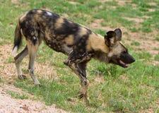 Cane selvaggio africano Immagini Stock