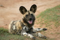 Cane selvaggio africano Immagini Stock Libere da Diritti