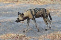 Cane selvaggio che vaga in cerca di preda il Botswana Fotografia Stock