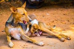 Cane selvaggio chealimenta il suo piccolo cucciolo Fotografia Stock