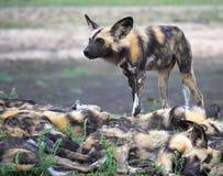 Cane selvaggio con il pacchetto Fotografia Stock Libera da Diritti