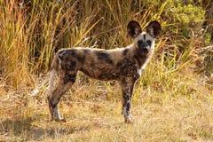 Cane selvaggio - delta di Okavango - Moremi N P Fotografie Stock Libere da Diritti