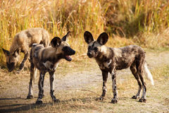 Cane selvaggio - delta di Okavango - Moremi N P Fotografie Stock