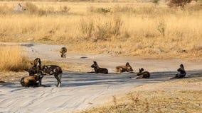 Cane selvaggio - delta di Okavango - Moremi N P Fotografia Stock