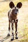Cane selvaggio - delta di Okavango - Moremi N P Immagini Stock