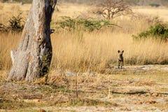 Cane selvaggio - delta di Okavango - Moremi N P Immagine Stock Libera da Diritti