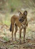 Cane selvaggio indiano che guarda fuori per la preda Immagini Stock Libere da Diritti