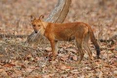 Cane selvaggio indiano nell'habitat della natura in India Fotografia Stock Libera da Diritti