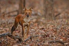 Cane selvaggio indiano nell'habitat della natura in India Immagine Stock Libera da Diritti