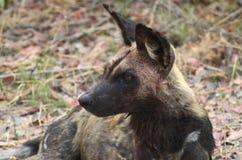 Cane selvaggio macchiato sangue Botswana Tom Wurl Immagine Stock