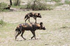 Cane selvaggio messo un colletto che cammina sulla savana fotografia stock libera da diritti