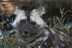 Cane selvaggio - specie in pericolo di estinzione fotografia stock libera da diritti