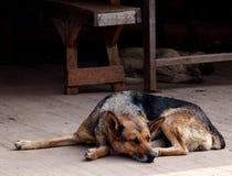 Cane senza tetto Immagini Stock