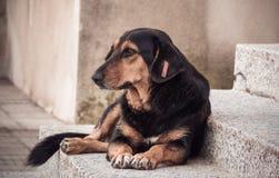 Cane senza tetto della via Fotografie Stock Libere da Diritti