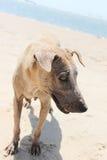 Cane senza tetto sulla spiaggia fotografie stock