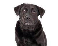 Cane serio di labrador retriever Fotografie Stock