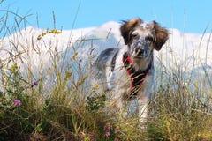 Cane sfocato bianco e nero in erba e alte montagne a fondo Immagini Stock Libere da Diritti