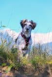 Cane sfocato bianco e nero in erba e alte montagne a fondo Immagine Stock