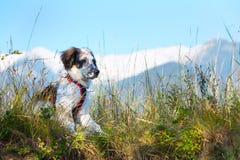Cane sfocato bianco e nero in erba e alte montagne a fondo Fotografie Stock Libere da Diritti