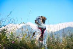 Cane sfocato bianco e nero in erba e alte montagne a fondo, concetto di viaggio di libertà Immagine Stock Libera da Diritti