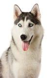 Cane siberiano del husky Fotografia Stock