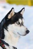 Cane siberiano di guida del husky Immagine Stock Libera da Diritti