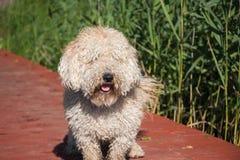 Cane simile a pelliccia contro acqua e la foresta verde e canne al giorno di estate suuny Fotografia Stock