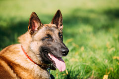 Cane Sit Outdoors In Green Grass di Malinois immagine stock libera da diritti