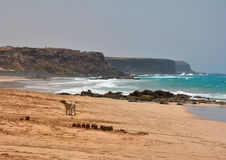 Cane solo sulla spiaggia dell'oceano Immagini Stock Libere da Diritti
