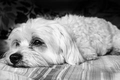 Cane sonnolento maltese immagini stock libere da diritti