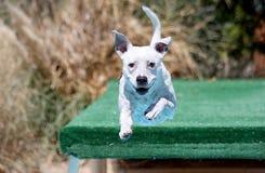 Cane sorridente che si tuffa fuori di un bacino Immagini Stock