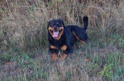 Cane sorridente di Rottweiler su un prato fotografie stock