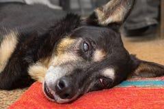 Cane sotto anestetico Immagine Stock