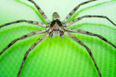 Cane Spider Stock Images