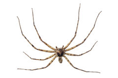Cane spider Royalty Free Stock Images