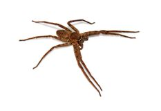 Cane spider isolated royalty free stock image