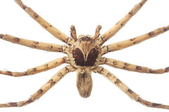 Cane spider isolated on white Royalty Free Stock Photography