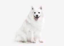 Cane Spitz bianco giapponese su fondo bianco Fotografia Stock
