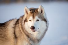 Cane splendido, libero e felice del husky siberiano che si siede sulla neve nella foresta di inverno al tramonto fotografia stock libera da diritti