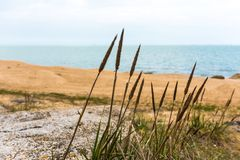 Cane stalks by sea Royalty Free Stock Photography