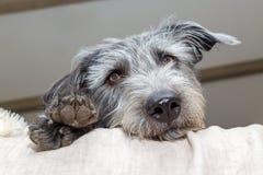 Cane stanco che guarda fuori dal letto Fotografia Stock Libera da Diritti
