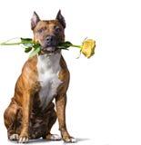 Cane a strisce di rad con una rosa gialla Immagini Stock Libere da Diritti