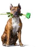 Cane a strisce di rad con una rosa verde Fotografia Stock Libera da Diritti