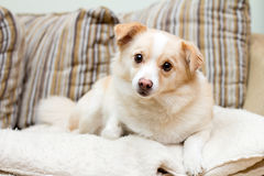 Cane su un sofà che osserva stright in avanti Fotografie Stock Libere da Diritti
