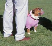 Cane su una camminata Immagini Stock