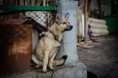 Cane su una catena Immagini Stock Libere da Diritti