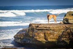 Cane su una roccia sulla spiaggia Fotografia Stock Libera da Diritti