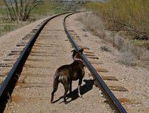 Cane sui binari ferroviari Fotografia Stock Libera da Diritti