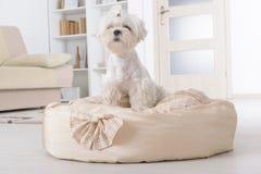 Cane sul letto del cane immagine stock libera da diritti