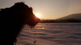 Cane sul tramonto su neve Immagine Stock